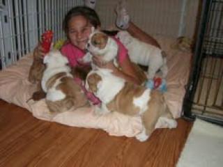 Filhotes De Bulldog Inglês Fofos Para Adoção