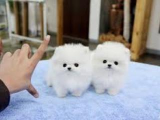 Filhotes De Natal Pomeranian Para Suas Casas