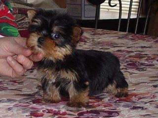 Filhotes De Cachorro Yorkie Terrier Para Adoção