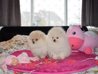Filhotes De Pomerânia Para Sua Casa